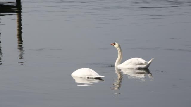 stockvideo's en b-roll-footage met a pair of mute swans (cygnus olor) feeding on lake windermere in the lake district, uk. - knobbelzwaan