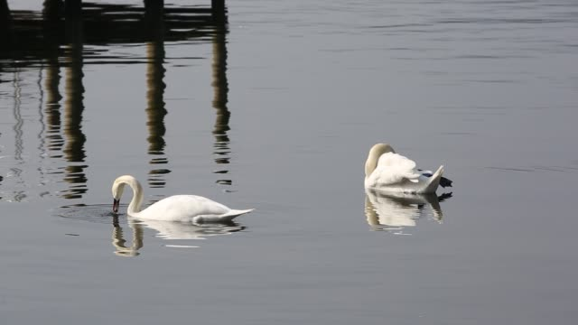 A pair of Mute Swans (Cygnus olor) feeding on Lake Windermere in the Lake District, UK.