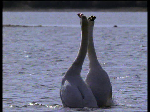 Pair of mute swans mate and perform courtship dance on lake at dusk, UK