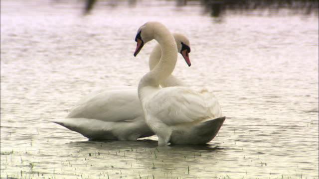 Pair of mute swans (Cygnus olor) preen and display in flooded field, UK