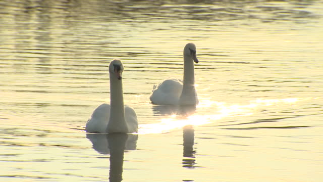 pair of mute swans - mute swan stock videos & royalty-free footage