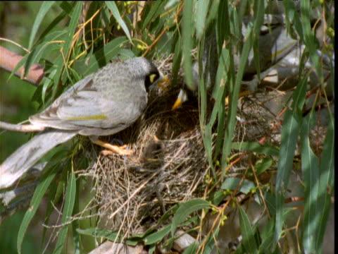 vídeos de stock, filmes e b-roll de pair of noisy miner birds tend to their hatchling chicks in nest, raymond island, victoria, australia - equilíbrio vida trabalho