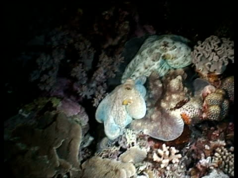 ms pair of octopus, moving across coral, changing colour, layang layang, malaysia - mabul island stock videos and b-roll footage