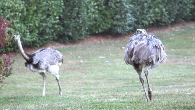 pair of ostriches running - gosling stock videos & royalty-free footage