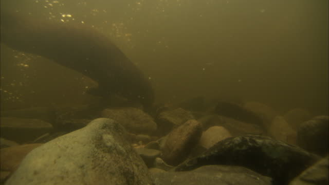 a pair of otters investigate the rocks on the bottom of the water. - otter stock videos & royalty-free footage