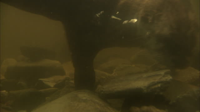 a pair of otters move the rocks on the bottom of a tank to forage. - otter stock videos & royalty-free footage