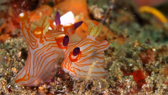 Pair of Pichachu Nudibranchs resting on the reef - close up