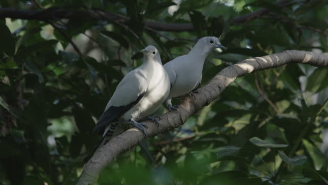 pair of pied-imperial pigeons preening each other on branch - two animals stock videos & royalty-free footage