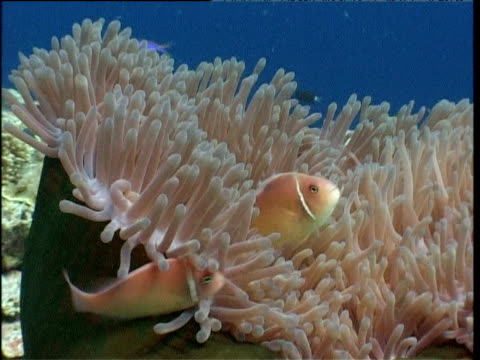 Pair of pink anemone fish stay close to their huge anemone host, Walindi, New Britain