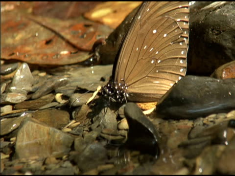 pair of purple crow butterflies drink from stream - taiwan stock videos & royalty-free footage