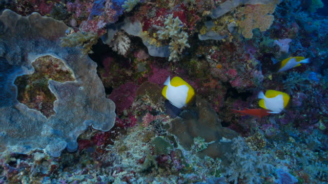 pair of pyramid butterflyfish swimming in ocean floor - hemitaurichthys polylepis stock videos and b-roll footage