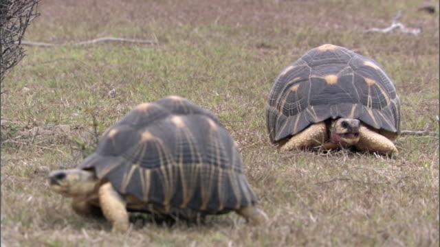 Pair of radiated tortoises (Astrochelys radiata), Madagascar