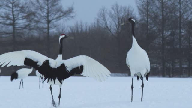A pair of red crowned cranes dancing in Japan