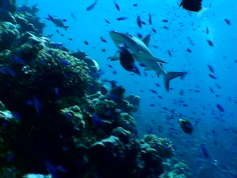 pair of reef sharks - bikini atoll stock videos & royalty-free footage