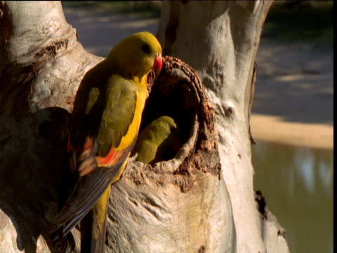 pair of regent parrots look around alertly at entrance to nest hole in gum tree, victoria, australia - nest stock-videos und b-roll-filmmaterial