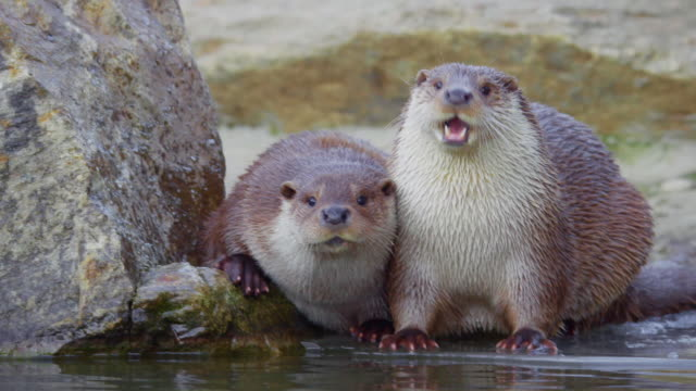 a pair of river otters playing in the dmz (demilitarized zone between south and north korea), goseong-gun - otter stock videos & royalty-free footage