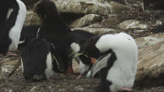 vídeos de stock, filmes e b-roll de pair of rockhopper penguins displaying at nest zi to egg - grupo pequeno de animais