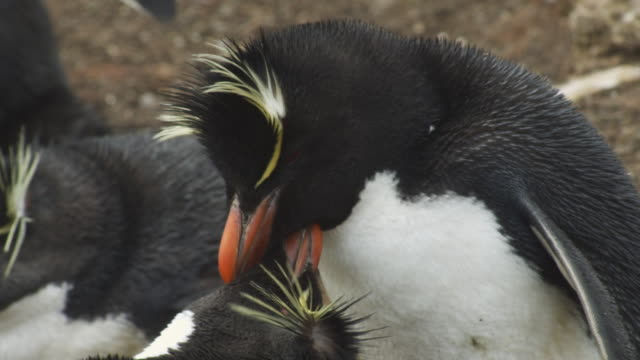 CU pair of Rockhopper Penguins mutual preening at nest