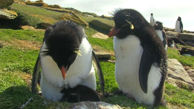 vídeos de stock, filmes e b-roll de pair of rockhopper penguins on grassy nest with 2 chicks huddled underneath one - ilhas do oceano atlântico