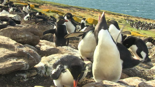pair of rockhopper penguins stand together then display and call - flightless bird stock videos & royalty-free footage