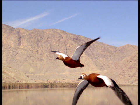 vídeos y material grabado en eventos de stock de pair of ruddy shelducks fly and call over iranian landscape - pato pájaro acuático