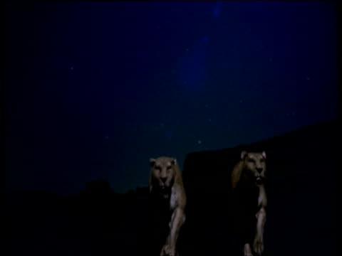 vídeos y material grabado en eventos de stock de pair of sabre toothed cats approach and walk past camera at night, one of them disappears, usa - felino grande