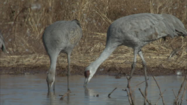 pair of sandhill cranes drink - pair stock videos and b-roll footage