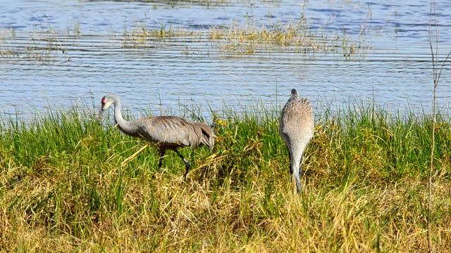 pair of sandhill cranes gathering nest material next  to lake - sandhill crane stock videos & royalty-free footage