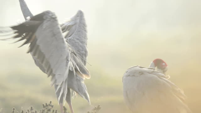 pair of sarus crane in a beautiful rice field - crane stock videos and b-roll footage