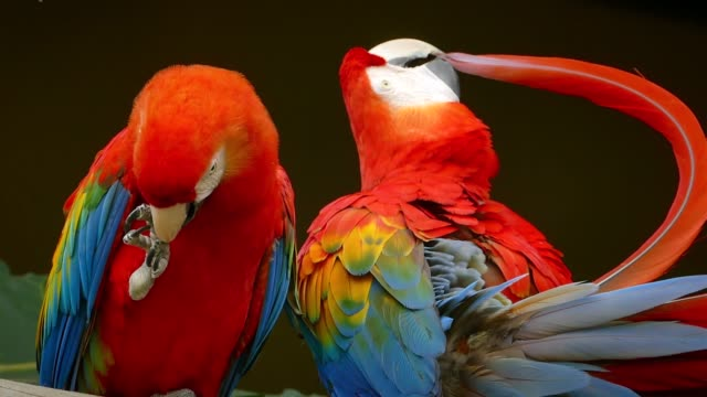 pair of scarlet macaws in ecuardor - scarlet macaw stock videos and b-roll footage