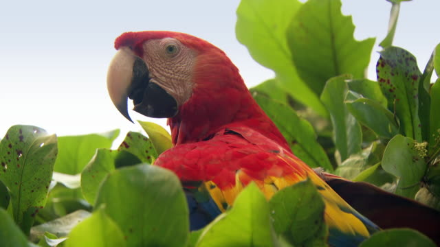 pair of scarlet macaws in tree in costa rica - perching stock videos & royalty-free footage