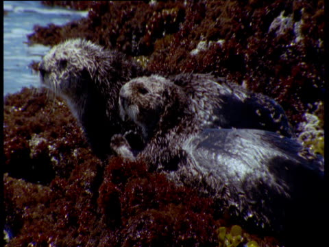 vidéos et rushes de pair of sea otters lie grooming on weedy rocks, californian coast - allongé sur le devant