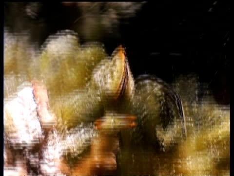 vídeos de stock, filmes e b-roll de ms pair of sea slugs, elysia ornata nudi, on algae, kapalai, sipadan, borneo, malaysia - gastrópode