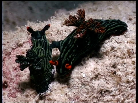 vídeos de stock, filmes e b-roll de ms pair of sea slugs, nembrotha kumbaryana, on reef, black with red horns, mabul, borneo, malaysia - organismo aquático