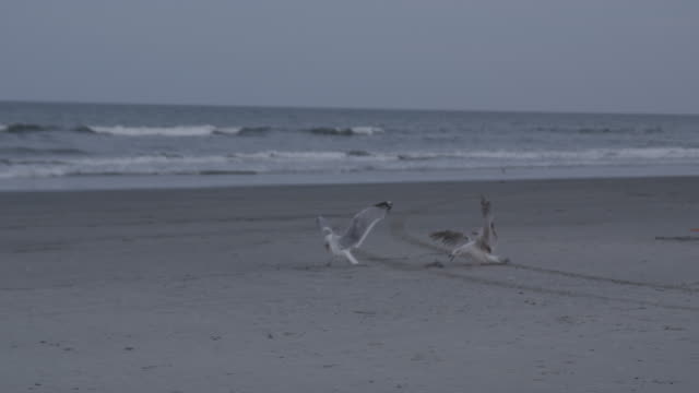 pair of seagulls on beach - seagull stock videos & royalty-free footage
