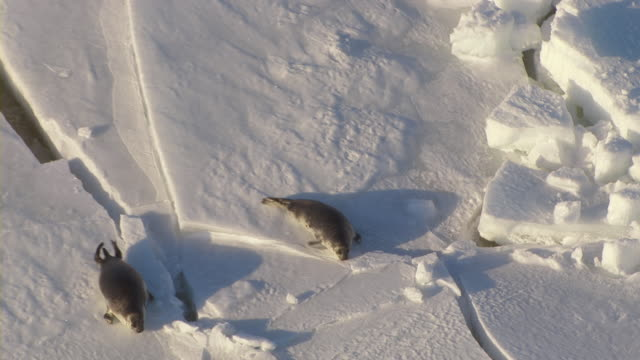 A pair of seal pups crawl on a sheet of ice.