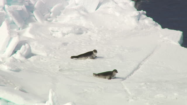 A pair of seal pups makes their way over the ice and into the frigid ocean.