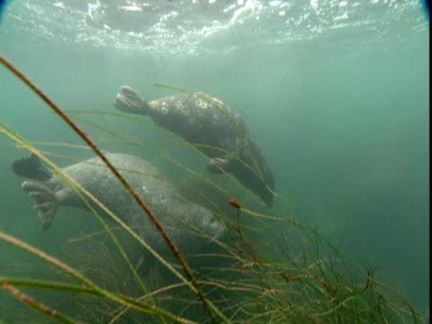 a pair of seals plays near clumps of dense sea grass. - ダイビング用のフィン点の映像素材/bロール