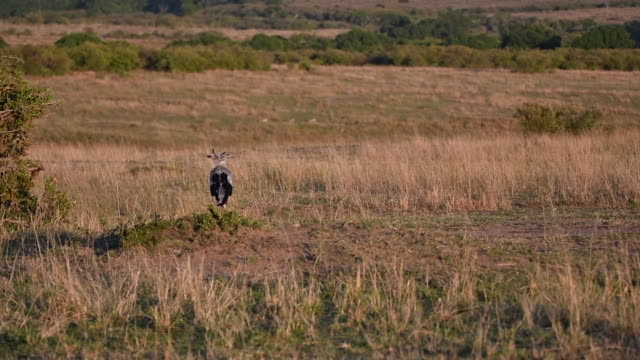a pair of secretory bird searching for something to eat in the plains of masai mara - wildlife conservation stock videos & royalty-free footage