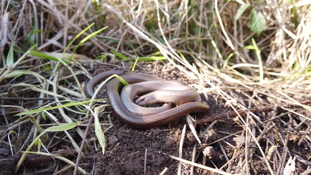 pair of slow worms basking next to an active ant nest . the ant nest provides extra heat in the colder months, and the ants help to eliminate... - reptile stock videos & royalty-free footage
