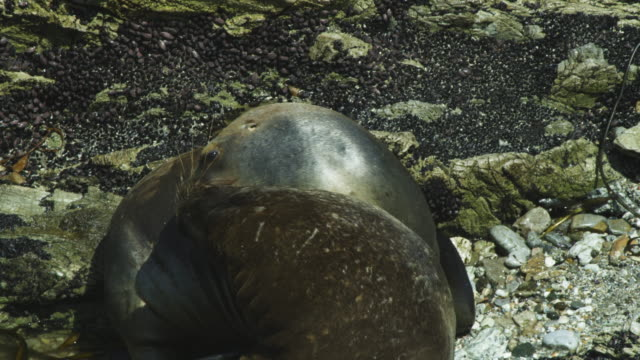cu pair of south american fur seals play fight on rock - play fight stock videos and b-roll footage