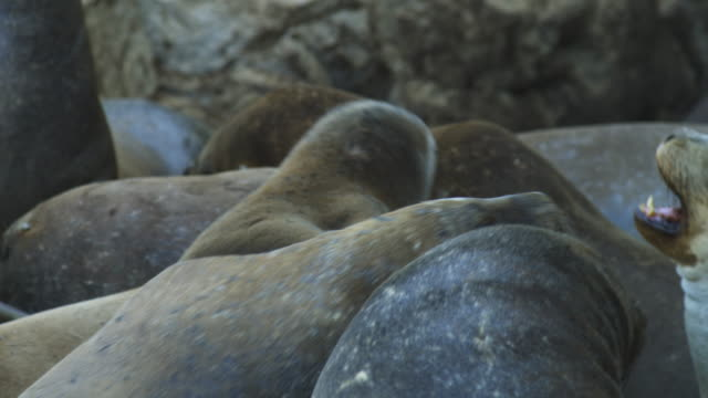 cu pair of south american sealions fighting - south america stock videos & royalty-free footage