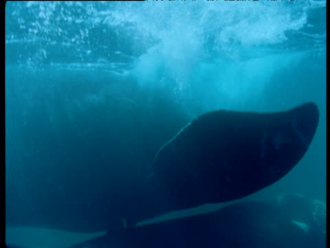 pair of southern right whales swim as they mate, patagonia - tierpenis stock-videos und b-roll-filmmaterial