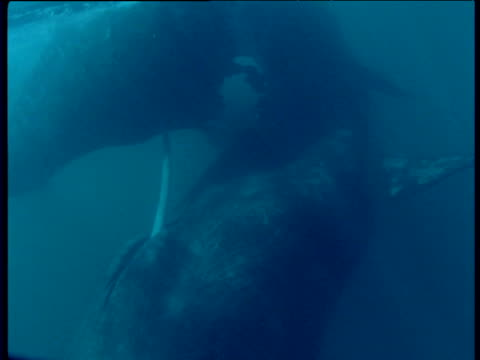 pair of southern right whales swim as they mate, patagonia - sidoflik bildbanksvideor och videomaterial från bakom kulisserna