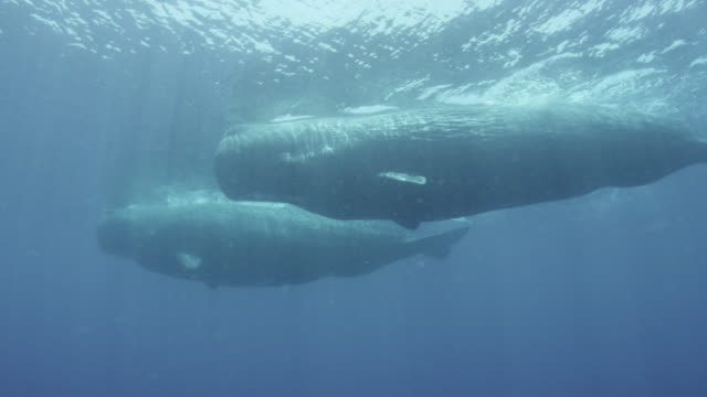 pair of sperm whales swim underwater, sri lanka. - sperm whale stock videos & royalty-free footage