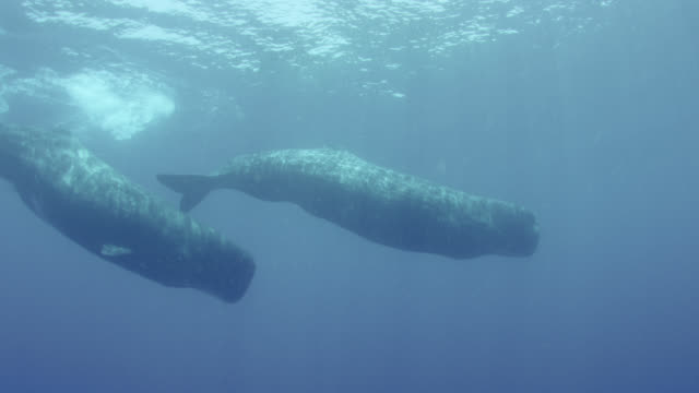 pair of sperm whales swimming, sri lanka. - sperm whale stock videos & royalty-free footage