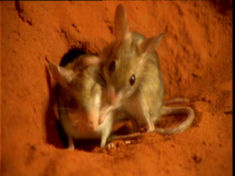 pair of spinifex hopping mice groom outside their burrow in desert, northern territory, australia - mouse animal stock videos & royalty-free footage