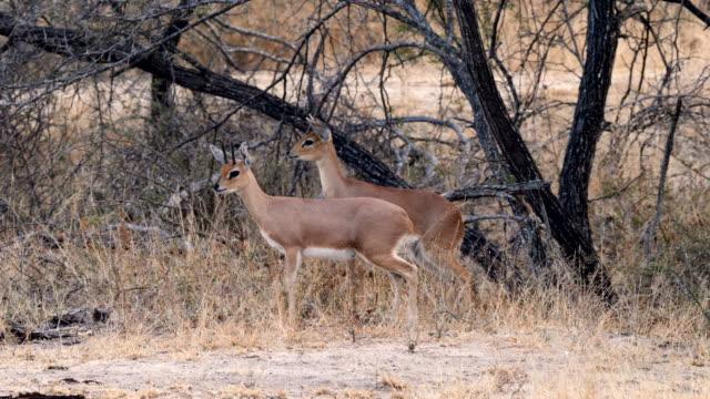 pair of steenbok (raphicerus campestris) - antelope stock videos & royalty-free footage