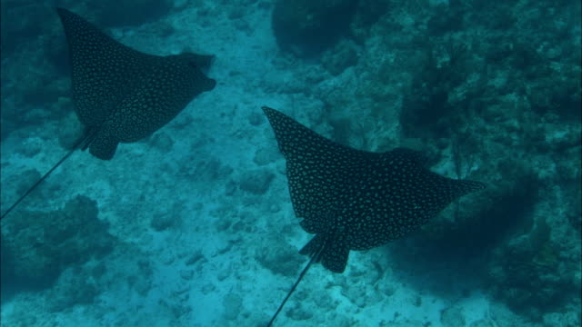 a pair of stingrays glides along the bottom of a reef. - stingray stock videos & royalty-free footage