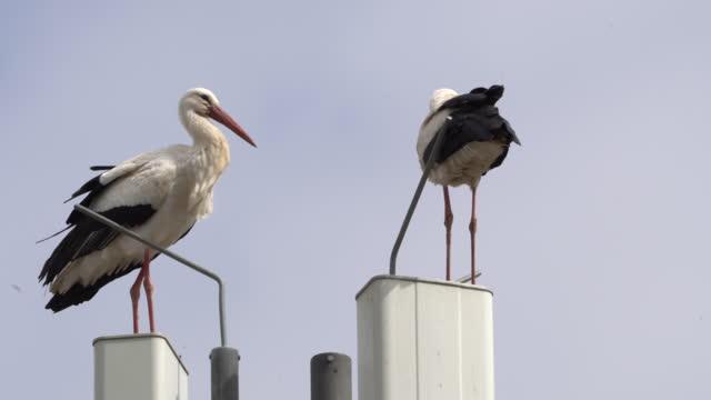 pair of storks rattle white stork on radio mast - animal wing stock videos & royalty-free footage
